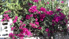 Pink bougainvilia and fence 2 Stock Footage