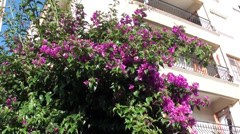 Pink bougainvilia against building Stock Footage