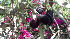 Olives on tree and bougainvilia Stock Footage