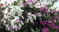 Bush of white-rosy bougainvilia Stock Footage
