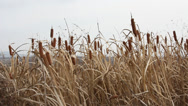 Stock Video Footage of dry grass reed on the meadow. autumn time. hd