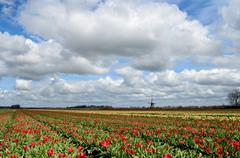 tulips and a windmill in holland - stock photo