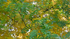 autumn fall leaves - stock footage