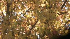 Fall leaves with sun shinning through Stock Footage