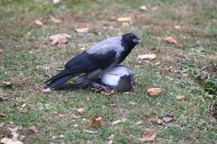 Raven crow attacked the pigeons. Stock Photos