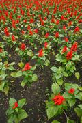 Red flower field fresh bright sunny day Stock Photos