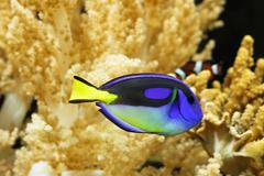 Blue regal tang Stock Photos