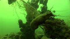 Underwater Crap in fresh water Stock Footage