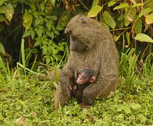 Olive baboon mother and baby Stock Photos