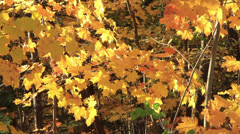 Golden Autumn Leaves on a Windy Day Stock Footage