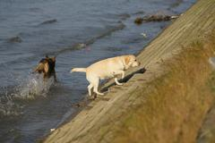 dog running through the water, dog runs on water - stock photo