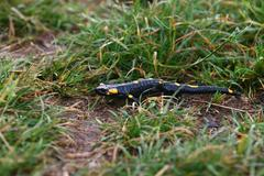 fire salamander lizard in a green grass - stock photo