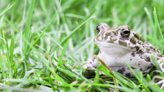 Common toad look to camera with pensive expression Stock Footage