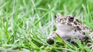 Stock Video Footage of Common toad look to camera with pensive expression