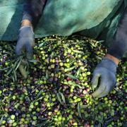 harvesting arbequina olives in an olive grove in catalonia, spain - stock photo