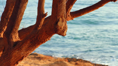 The branches of an old tree growing near the sea Stock Footage