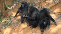 Family Chimpanzees Stock Footage