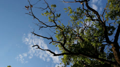 Strong secular oak tree branches, blue sky and white clouds Stock Footage