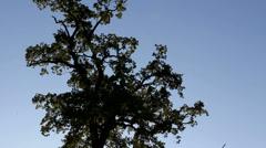 Very high secular oak tree, sun shinning Stock Footage
