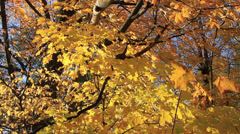 Golden Autumn leaves on a sunny fall day Stock Footage