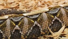 Gaboon Viper Crawl Stock Footage