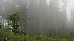 Foggy sprng forest with high trees Stock Footage