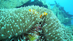 Clownfish or anemonefish in sea anemone Stock Footage