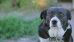 Farm dog looking at camera Stock Footage