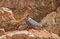 An inca tern on a rocky island Stock Photos