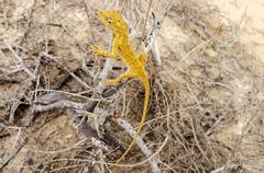 Yellow lizard Stock Photos