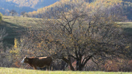 Stock Video Footage of Healthy cow feeding on beautiful autumn mountain scenery