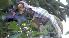 Farm worker picks Diospyros kaki Stock Footage