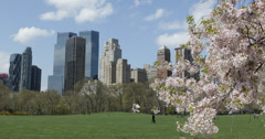 Ultra HD 4K UHD Spring Central Park NYC Green Grass Meadow Cherry Tree Blooming - stock footage