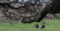 Ultra HD 4K NYC Central Park Cherry Trees Blossoming Romantic Couple Sitting Footage