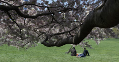 Ultra HD 4K NYC Central Park Cherry Trees Blossoming Romantic Couple Sitting Stock Footage