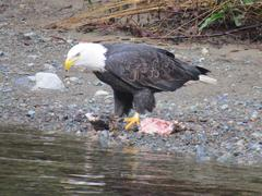 Bald Eagle Feasting on Salmon - stock photo