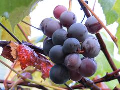 Luscious Cluster of Purple Grapes - stock photo