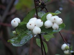 White Berries and Raindrops in the Forest Stock Photos