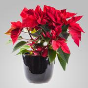 Stock Photo of poinsetta