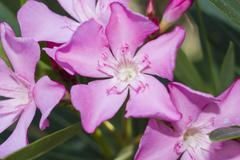 nerium oleander punctatum flowers - stock photo