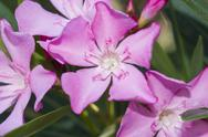 Stock Photo of nerium oleander punctatum flowers