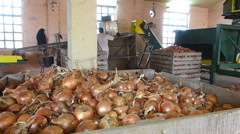 Production of onion Stock Footage