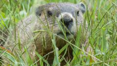 Groundhog Eating Grass in the Blue Ridge Mountains near Asheville Stock Footage