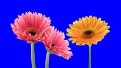 Time-lapse of growing and opening orange and pink gerbera flowers 1a1 Stock Footage