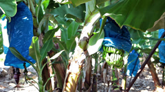 Stock Video Footage of Growing green bananas on plantation next to Pafos (Paphos), Cyprus