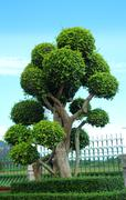 dwarfed tree at garden - stock photo