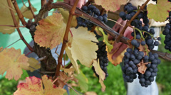 grape harvest detail 1 - stock footage