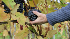 grape harvest detail  2 - stock footage