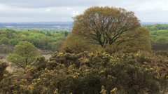 Beech tree and blooming gorse on glacial formed landscape + pan - stock footage