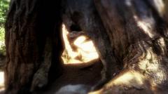 Woman Walks Through Giant Sequoia Tree HD Stock Footage
